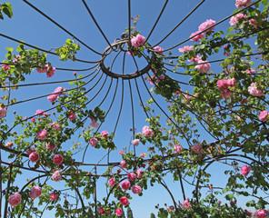 rosier sur une gloriette
