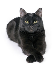 Black cat lies on a white background, looks in the camera.