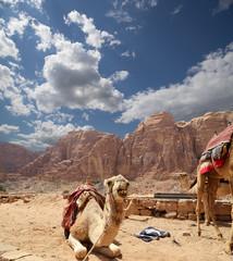Camel in the Wadi Rum Desert, jordan