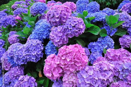 Foto op Plexiglas Hydrangea Fleurs d'Hortensias bleus et mauves