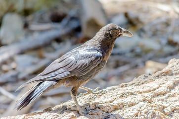 Black Crow, Yosemite National Park, California