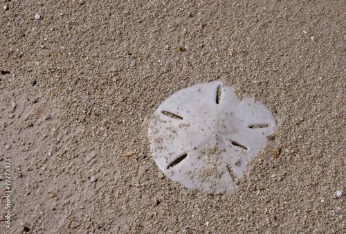Sanddollar - 77773373