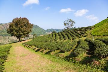Tea plantation at Doi Mae Salong, Chiang Rai, Thailand