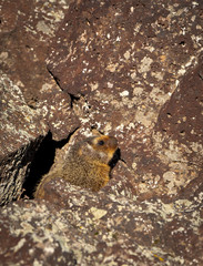 Yellow Bellied Marmot hides among volcanic rocks