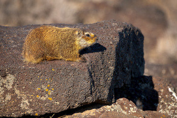 Yellow Bellied Marmot poses on a rock