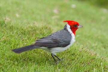 ハワイの赤い鳥  REDCRESTED CARDINAL