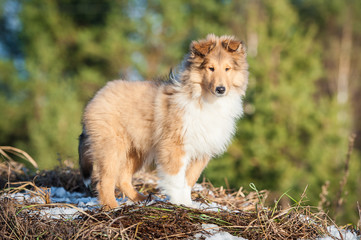 Rough collie puppy standing on the top of the hill