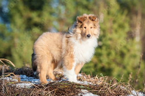 canvas print picture Rough collie puppy standing on the top of the hill