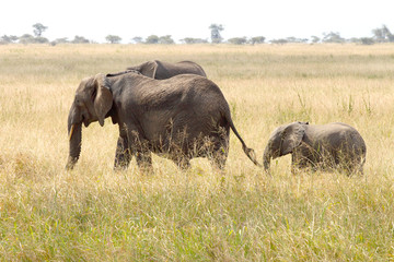 Baby african elephant with the mother