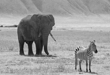 Black and white african elephant and zebra