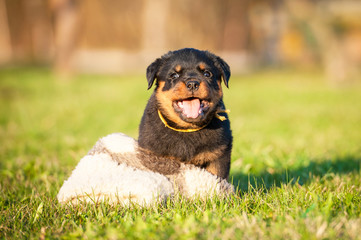 Funny rottweiler puppy playing with a toy