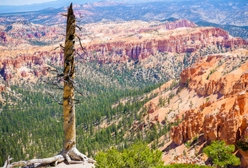 Old tree in Bryce Canyon national park, Utah, USA