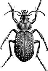 Vintage graphic insect ground beetle