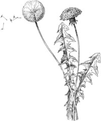 Vintage Illustration dandelion