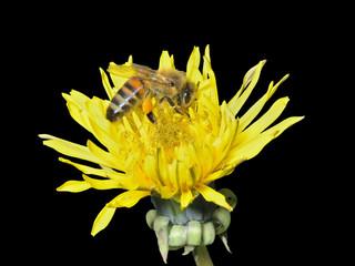 Bee on dandelion 12