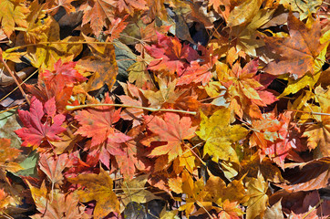 Autumn leaves of maple 1