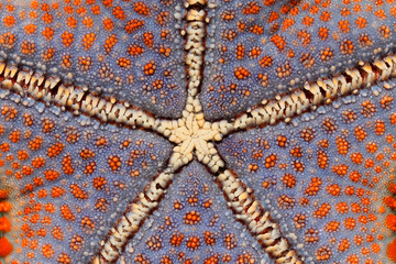 Colorful starfish, Zanzibar island