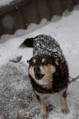 Black dog in snow on chain with a collar