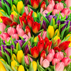Fresh spring tulip flowers with water drops. Vibrant colors