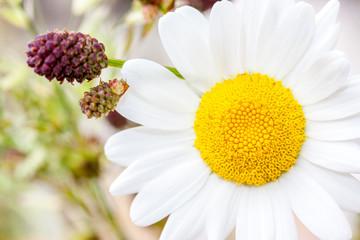 Blüte der Margarite (Leucanthemum)