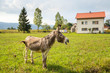 Donkey grazing on ranch