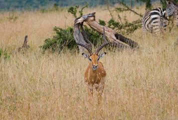 Impala Deer in Masai Mara National Reserve, Kenya, Africa