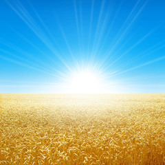 Fresh field of golden wheat growing slowly under the rising sun
