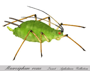 aphid, greenfly, plant louse