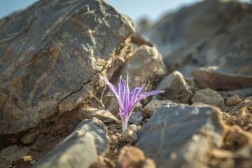 Violet color autumn flower of wild Colchicum variegatum