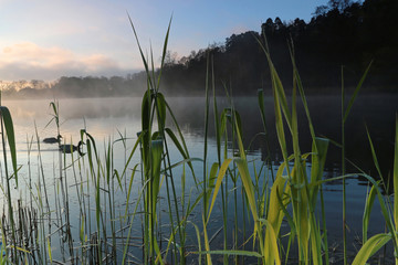 Reed in the lake a foggy morning