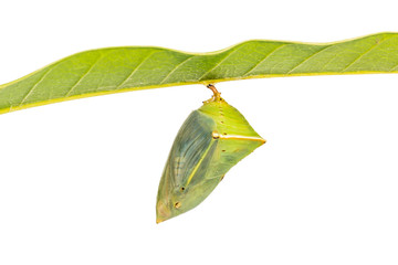 Mango Baron pupa