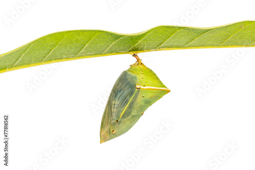 Deurstickers Vlinder Mango Baron pupa