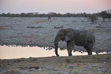 Elephant drinking, Okaukuejo, Etoscha National Park, Namibia, Af