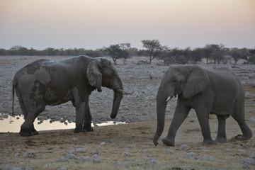 Two elephants, Okaukuejo, Etoscha National Park, Namibia, Africa
