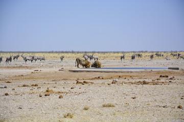 Lions at Sonderkop Waterhole, Etosha, Namibia, Africa