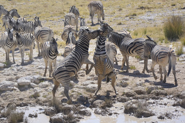 Fighting Zebras at waterhole, Etosha National Park, Namibia, Afr