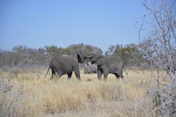 Two young elephants, Halali, Etosha National Park, Namibia, Afri