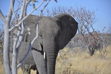 Young elephant, Halali, Etosha National Park, Namibia, Africa