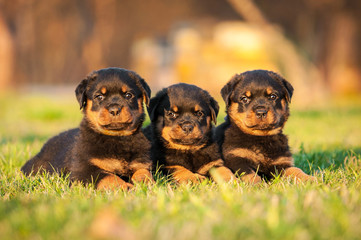 Three rottweiler puppies lying on the lawn