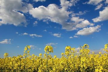 Rapsfeld und blauer Himmel mit Wolken