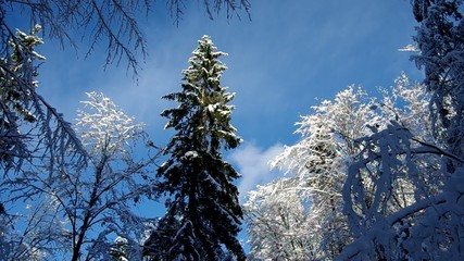 Snow covered trees in winter and blue sky