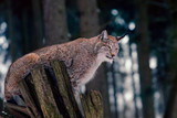 Lynx sitting on Tree Stump