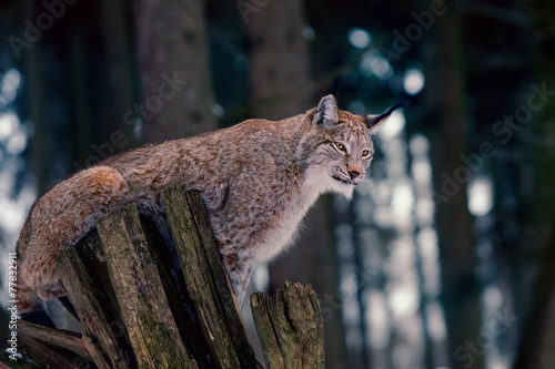 Keuken foto achterwand Lynx Lynx sitting on Tree Stump