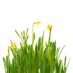 flowers spring bloom daffodils isolated white background