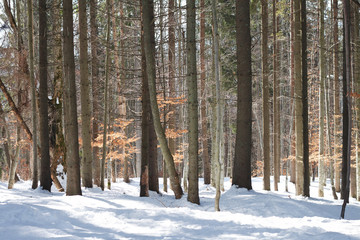 Tree trunks in winter pine forest