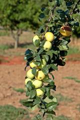 Apple - Malus domestica