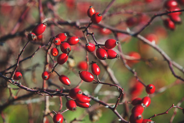 Ripe berries rosehip on branches