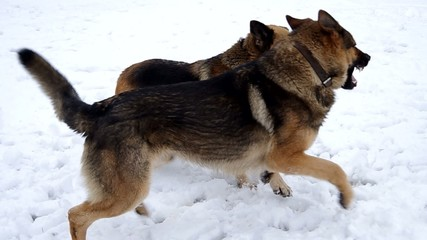 Two German Shepherd dogs are playing in the snow