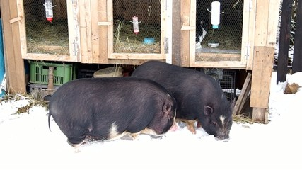 Two Vietnamese pig in the snow on the farm yard