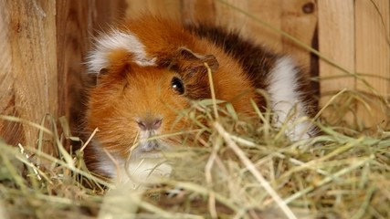 Guinea pigs in an open cage on dry grass